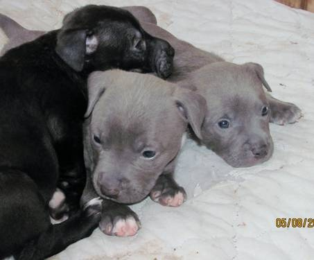 american pitbull terrier for sale craigslist 1000 images about all about pitbulls on pinterest 6845