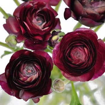 Wine ranunculus (Colour Board - Burgundy & Wine)