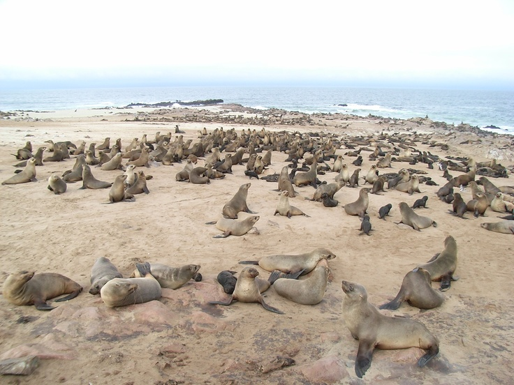paradise of fur-seal in Namibia