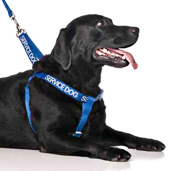 "Blue SERVICE DOG strap harness   Fits chest/ Belly 59-92cm (23-36"")   Model: Labrador"