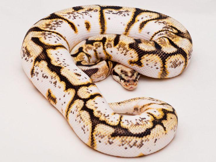 pretty-colored ball python :)