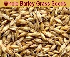 Barley Seeds for  Barley Grass Growing at Home