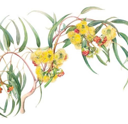 Eucalyptus erythrocorys Illustration by Marta Salamon - Friends of the Royal Botanical Gardens Cranbourne,