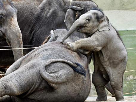 aaawww so cute... climbing mommy :): Weimaraner, Animal Stuff, Baby Elephants, So Cute, Aaawww, Climbing Mommy, Mommy Daddy