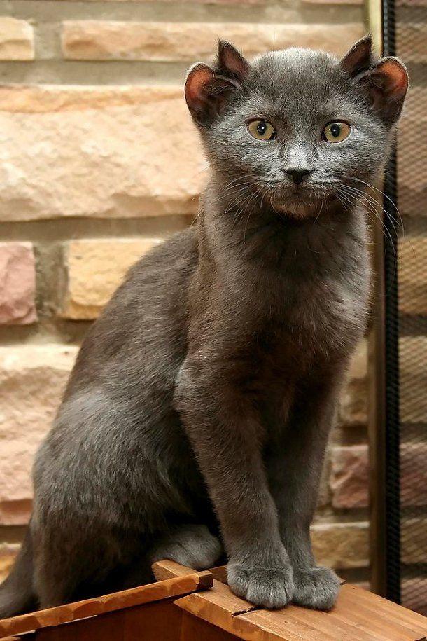 Voici Yoda, le chat qui a quatre oreilles | Planet
