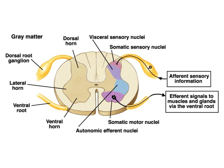 Spinal Cord Cross Section Diagram Spinal Cord Cross