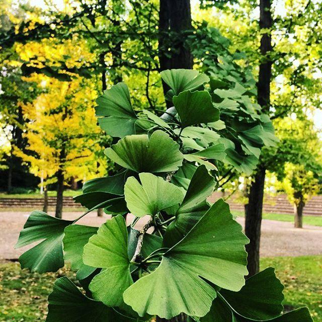 Besuch im Gehölzgarten Ripshorst in #Oberhausen mit Blick auf die grüne Pracht an Blättern des Ginkgo Baums🌿🌲🌿 #ruhrpottblick #ruhrgebiet #ruhrpott