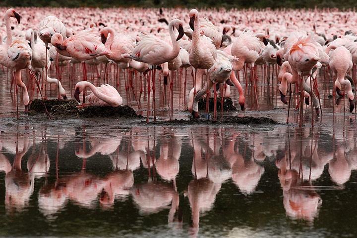 Flamingos at Lake Oloiden. Human-wildlife conflict has been a serious obstacle to wildlife conservation in Kenya Photograph: Dai Kurokawa/EPA
