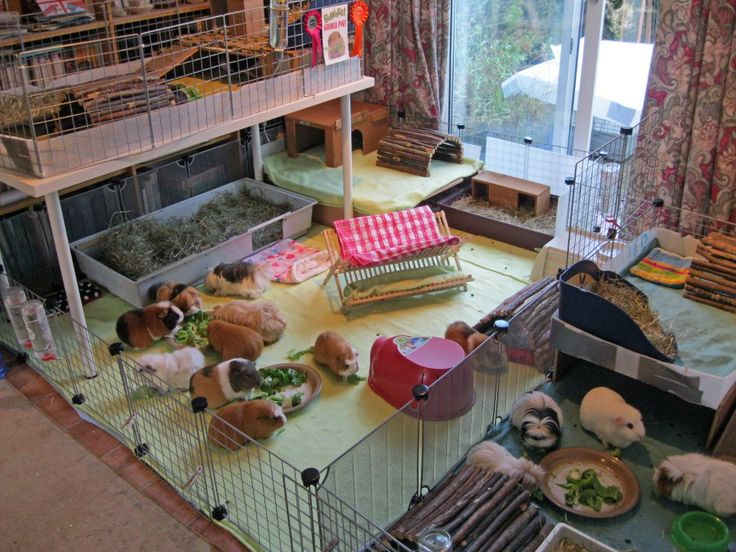"""Guinea pig village. What is """"what my house will look like in 30yrs and im still single Bob"""""""