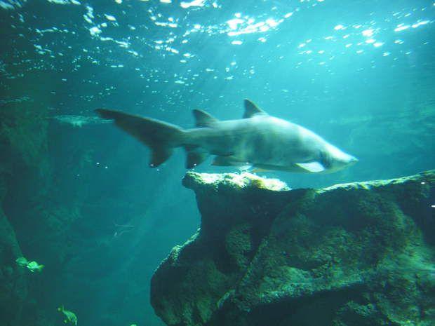 L'aquarium de La RochelleOuvert toute l'année l'aquarium de La Rochelle est sans conteste l'un des plus beaux de France! 800 000 visiteurs se pressent chaque année pour admirer plus de 10 000 spécimens issus de la Méditerranée, de l'Atlantique ou du Pacifique. Grâce à une cellule de sous-marin en mouvement, vous vous retrouverez cerné de méduses phosphorescentes. Bien d'autres surprises vous seront réservées lors de cette fantastique promenade où vous côtoierez tortues, requins, raies…