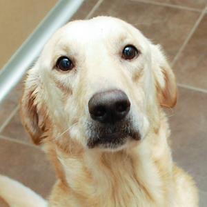 """Meet Joe, a Petfinder adoptable Labrador Retriever Dog 