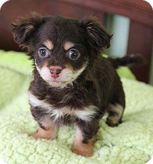 Yuba City, CA Dachshund/Pomeranian Mix. Meet Ivy a Puppy