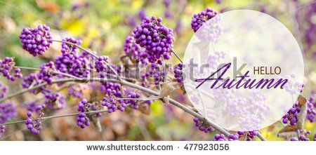 hello autumn background with purple berries
