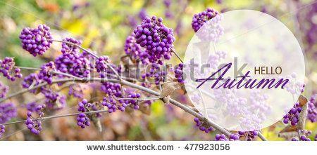 hello autumn background with purple berries