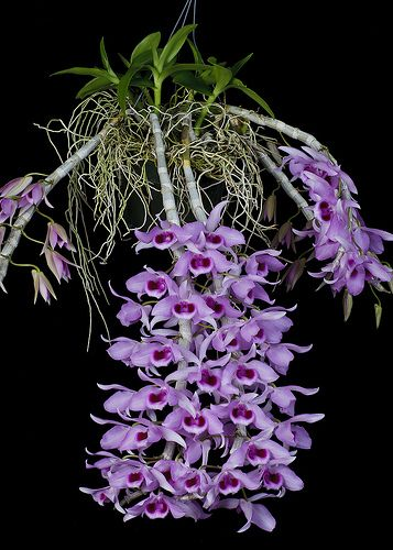 Orchid: Dendrobium 'Little Sweetscent'