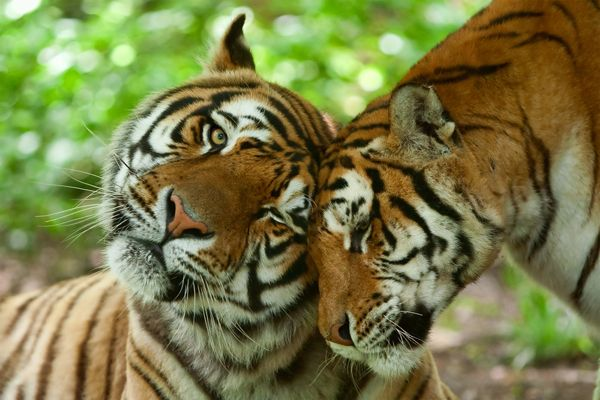 Asian Tiger Population Is Starting to Rebound | Catster