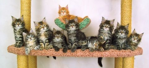Looking for cool names for kittens? Whether they are Maine Coon Cat names, or just unique and cute kitten names, we have them here!