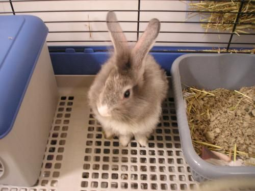 Cómo controlar el olor de la orina de tu conejito | Conejos Colombia