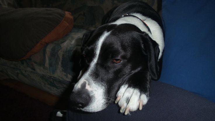 Diamond Labrador-Boxer Mischling | Pawshake
