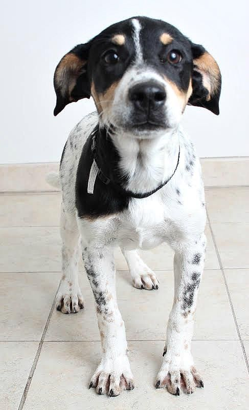 Hailey Page D170719: PENDING ADOPTION is an adoptable Australian Cattle Dog (Blue Heeler) searching for a forever family near Minnetonka, MN. Use Petfinder to find adoptable pets in your area.