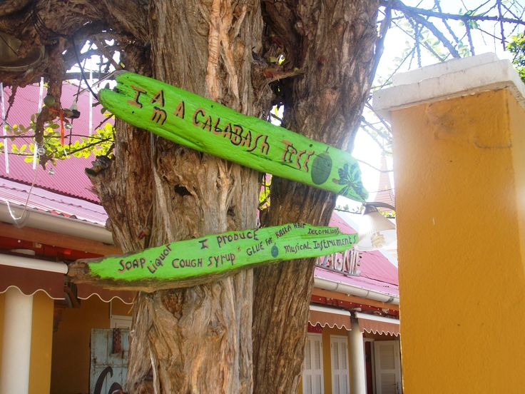 Calabash tree in Kralendijk, Bonaire. As the sign says, the Calabash tree can be used to produce soap, liquor, cough syrup, glue and musical instruments. The dried shell of the fruit from the Calabash tree can be used to produce cups, bowls and ornaments. It flowers at night and it's bark has medicinal qualities.
