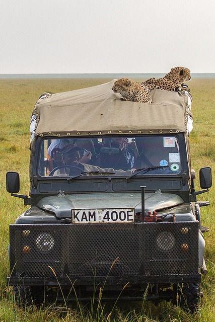 "funnywildlife: ""Cheetahs on LandRover in the Masai Mara, Kenya by Robert Muckley """