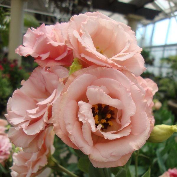 Цветы эустома: фото и выращивание из семян в домашних условиях