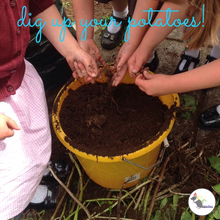 Our potatoes grew really well! Why not have a go yourself?! The children loved digging through the soil to find them! #eyfs #earlyyears #aceearlyyears #growyourown #potatoes #supertato #growingthings