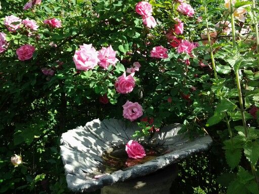 Love Garden Roses: 1000+ Images About Carla's Rose Garden & Flowers On