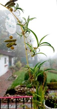 Zimmerpflanzen vermehren: Ableger einer Grünlilie #howto #urbanjungle #Ableger #züchen #Fensterbank #grow #growing #indoorgardening #grenlily #DIY #diyblogger #germanblogger