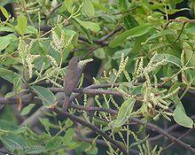 Terminalia arjuna is a tree of the genus Terminalia. It is commonly known as arjuna[1] or arjun tree in English,[2] thella maddi in Telugu, kumbuk in Sinhala, marudha maram in Tamil and neer maruthu in Malayalam.