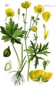 Ranunculus repens - Buttercup