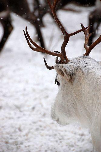 Reindeer / via Tiny White Daisy