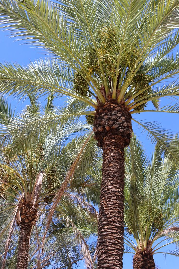 Edible Tropicals: How to: Grow Date Palms from Seed