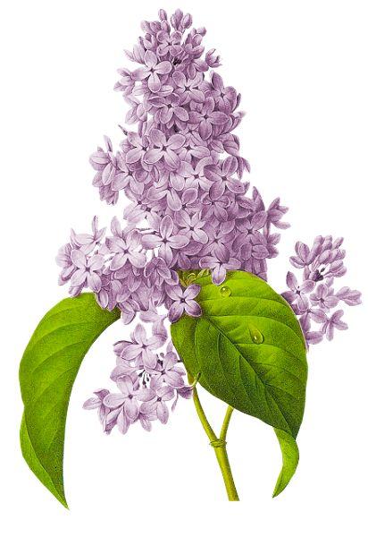 fleurs (lilas) | tatouages | pinterest | lilas, fleur et tatouages