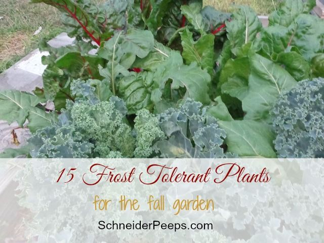 We are still about 9 weeks away from our average first frost but I know a lot of you are already experiencing cooler temperatures so I thought I'd share with you nine plants for the fall garden that are frost tolerant. Now, frost tolerant means that they can withstand temperatures down to about  26 degrees Fahrenheit …