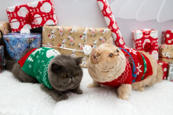 Our local vets held a christmas themed pet photoshoot - http://cutecatshq.com/cats/our-local-vets-held-a-christmas-themed-pet-photoshoot/