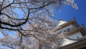 小田原城の桜2017の開花状況と見頃。お花見ランチを楽しもう!   季節お役立ち情報局