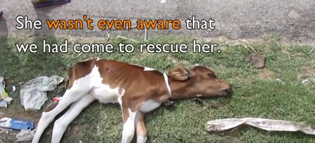 12/26/17 Just days old, discarded and thrown away as if her beating heart, her soft fur and big brown eyes didn't mean anything to anyone, a baby calf appeared lifeless as she waited to die . In Udaipur, Rajasthan, India, however, little Merry's life did count. Rescuers showed up along the side of a dirt road just …