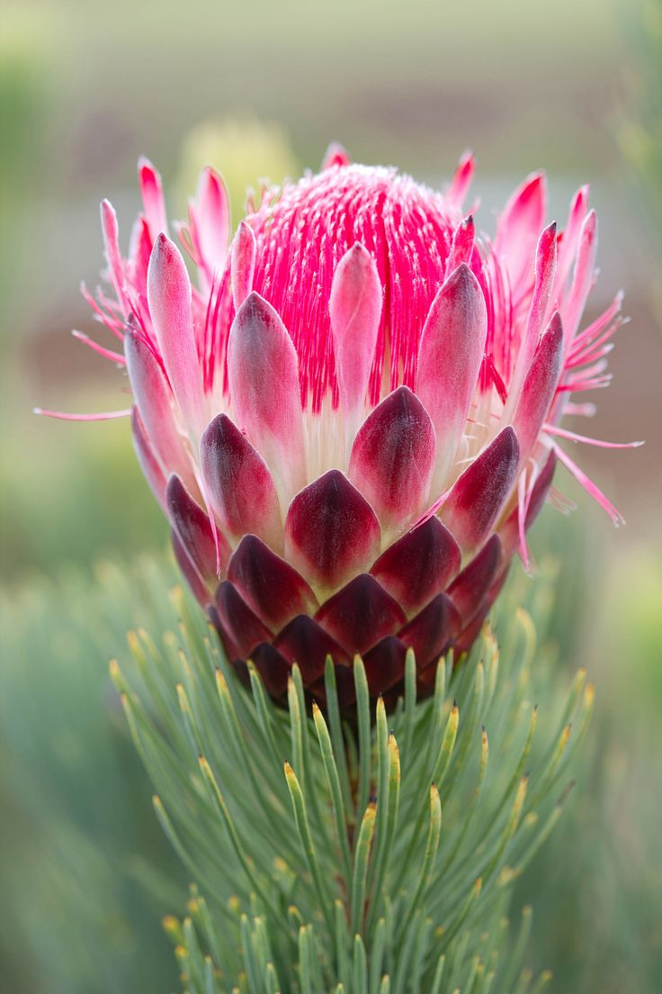 1759 best beautiful flowers images on pinterest exotic flowers photos flowers protea aristata love the beautiful hot pink bloom and unique pine like foliage dhlflorist Images