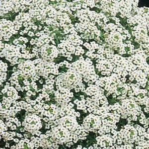 Alyssium:  these remind me of my Mom's flower beds with the red geraniums & dusty miller along with - so pretty.