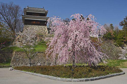 上田城 と枝垂れ桜