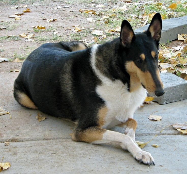 Dylan - Tri color smooth Collie. Fall weather is great!