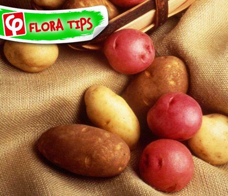Για να διατηρηθούν σκληρές οι #πατάτες και να μη βγάλουν φύτρες, βάλτε 2-3 μήλα ανάμεσά τους... Το μυστικό βρίσκεται στο αιθυλένιο που εκλύουν τα #μήλα! Επίσης, φυλάξτε τις σε σκιερό μέρος.  #FloraTips