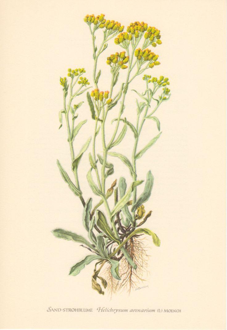 immortelle flower - Hledat Googlem