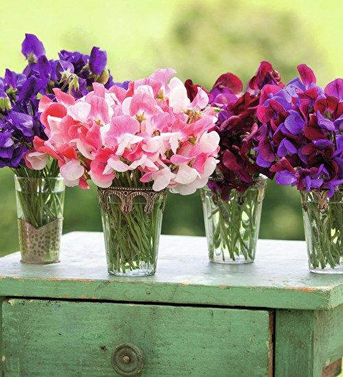 sweet pea seed planting instructions