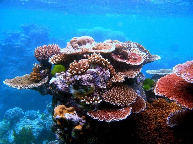 Coraux près de Cairns (Australie) |Toby Hudsonvia Wikimedia Commons (License by)        Le réchauffement des oécans n'est pas le seul fautif, il faut ausssi ajouter l'acidification des eaux et le développement de cyclones puissants, qui résultent en partie du changement climatique.