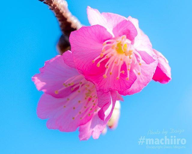 奄美大島では先日龍郷町によってヒカンザクラの開花宣言がなされました 写真を撮影した須野ダムでは蕾がようやくつきだした程度ですが中にはほころんだものも . 2月上旬に見頃を迎えるそうです . #サクラ #桜 #さくら #sakura #サクラサク #マチイロ #machiiro #ヒカンザクラ #緋寒桜 #奄美大島 #amami #leica #LeicaSl #leicagram