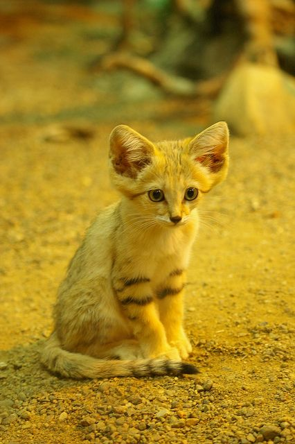Cat + Fennec = Sand cat kitten - by Mats Ellting