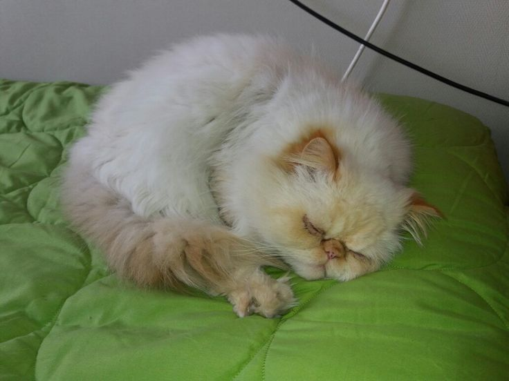 Mi gato persa himalayo durmiendo